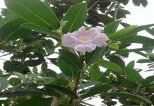 Tak Perlu ke Brasil atau ke Jepang, Kini Tanaman Bunga Tabebuya Bakal Hiasi Taman Kota Lubuklinggau
