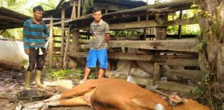 Puluhan Sapi Warga di Desa Purnama Sari, Lahat Ditemukan Mati Mendadak