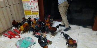 Kerahkan Kekuatan Penuh Bersenjata Lengkap, Brimob Polda Sumsel Gerebek Arena Sabung Ayam di Pemulutan OI, Amankan 15 Tersangka, dan 20 Ekor Ayam